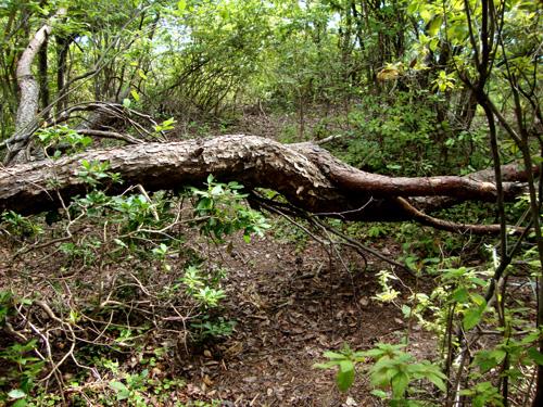左大文字 登山道の樹
